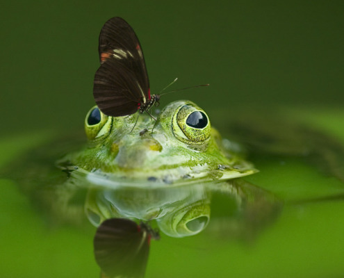 Frosch mit Schmetterling in Teich
